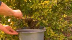Bee Keeping capturing a swarm of wild honey bees - stock footage