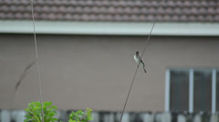 Lonely Tyrant flycatchers at home Stock Footage
