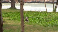 Dusky Langur wild monkeys colony. Thailand Stock Footage