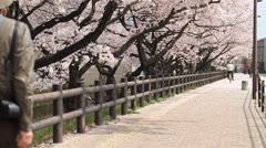 Older Asian Couple Walking Enjoying Cherry Blossom Trees Stock Footage