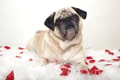 pug on a white tablecloth with roses - stock photo