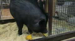 Black pig Stock Footage