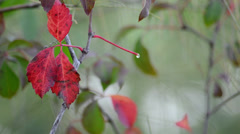 Dewdrop on red plant Stock Footage