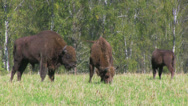 Stock Video Footage of Bison herd grazing
