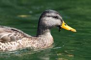 Stock Photo of side view of female mallard duck