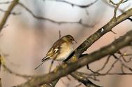 Stock Photo of female common chaffinch on branch