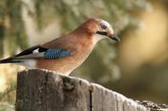 Stock Photo of common jay  ( garrulus glandarius ) on a stump with seeds