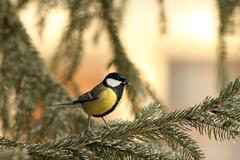 Great tit ( parus major ) standing on spruce Stock Photos