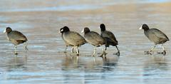 flock of fulica atra walking on frozen surface of the  lake - stock photo