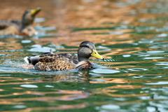 Mallard duck ( anas platyrhynchos ) swimming tranquil Stock Photos