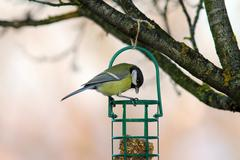 Great tit ( parus major ) Stock Photos