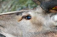 Stock Photo of hunted red deer