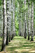 Alley in july birch grove Stock Photos