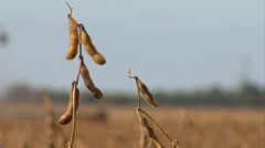 Soybean harvest rack focus to combine Stock Footage