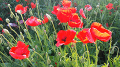 Red poppies flowers bloom on the field Stock Footage