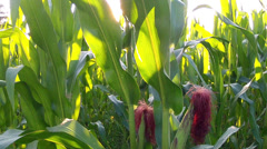 Corn field at sunset. Stock Footage