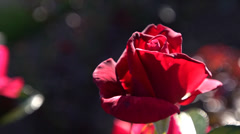 Stock Video Footage of Beautiful red rose 1080p