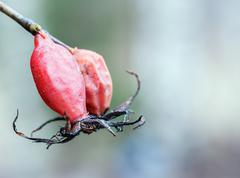Red rosehip against its blurred Stock Photos