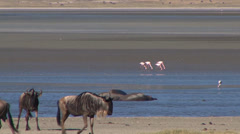 Pink flamingos fly by wildebeests and hippos Stock Footage