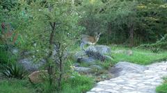 Klipspringer in a garden area Stock Footage