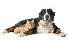 bernese moutain dog and cat - stock photo