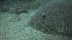 Giant grouper fish Stock Footage