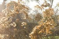 Stock Photo of Dried Flowers with Afternoon Sun