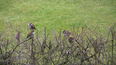 Small flock of sparrows on bare hawthorn hedge Stock Footage