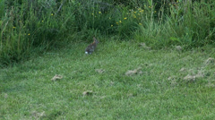 Rabbit carefuly observing his environment at the edge of the mown meadow Stock Footage
