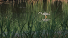 Gray heron eats a small fish Stock Footage