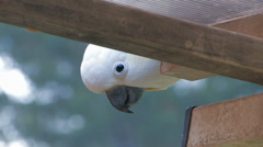 Observant Sulphur Crested Cockatoo Stock Footage