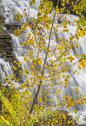 Stock Photo of Hector falls yellow leaves