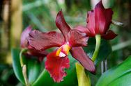 Stock Photo of two deep red orchids in bloom