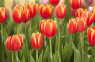 Tulip flower Stock Photos