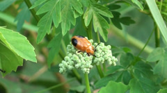A camera shy leaf Beetle slowly hides it's head Stock Footage