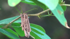 A caterpillar drags it's cocoon along a branch - stock footage