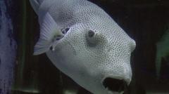 Star puffer fish Stock Footage