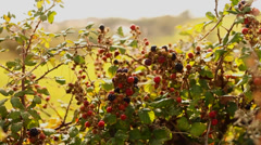 Blackberry bushes in the sun - stock footage