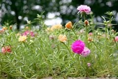 common purslane flowers in the garden. - stock photo