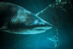 great shark underwater photo  in the deep blue water. - stock photo