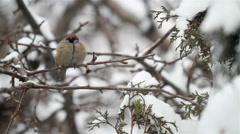 Fluffy sparrow on a branch in winter time Stock Footage