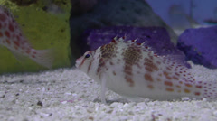 Spotted hawkfish Stock Footage
