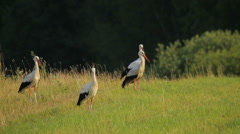 White storks in meadow in the rural landscape Stock Footage
