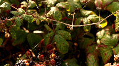 Blackberries and web spider on them Stock Footage