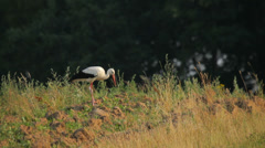 White stork in the rural landscape in summer Stock Footage