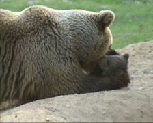 Brown bear (ursus arctos) mother cuddling cub Stock Footage