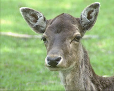 Fallow deer (cervus dama) doe - eye to eye. Stock Footage