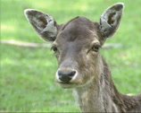 Stock Video Footage of Fallow deer (cervus dama) doe - eye to eye.