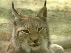 Eurasian Lynx (Lynx lynx) turns head on camera - eye to eye Stock Footage