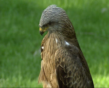Black Kite (Milvus migrans)  the most abundant raptor, bird of prey in the world Stock Footage